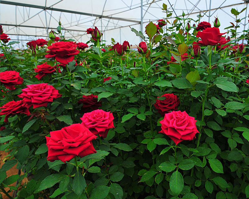 Certified Roses